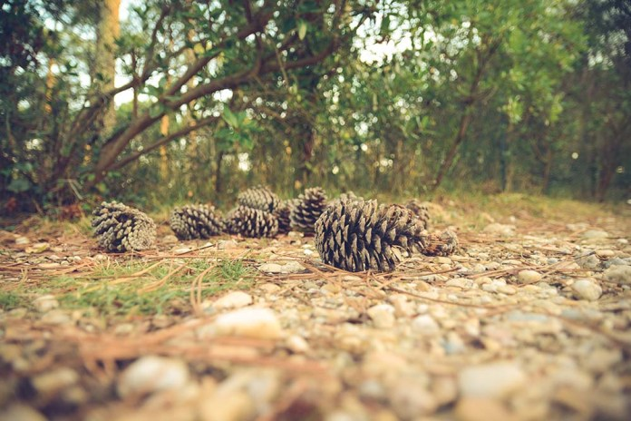 Pine cones in woodland