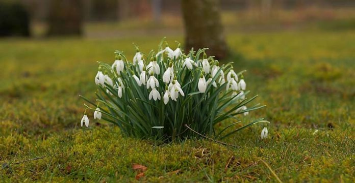 Snowdrops come into bloom