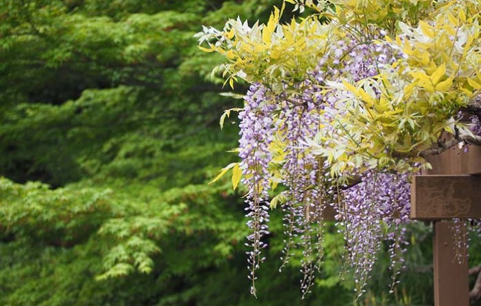 Wisteria growing on a trellis