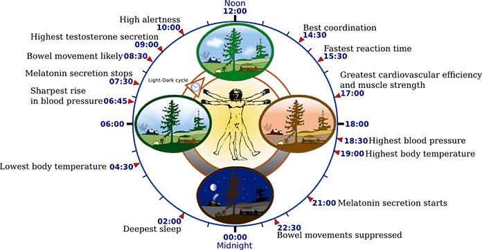 Biological-clock-human-696l
